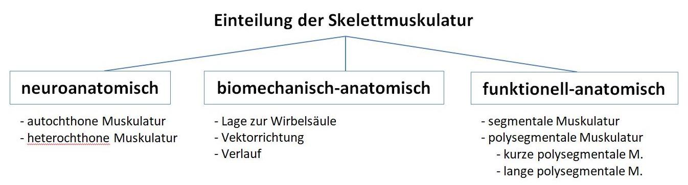 Übersicht Skelettmuskelschichten
