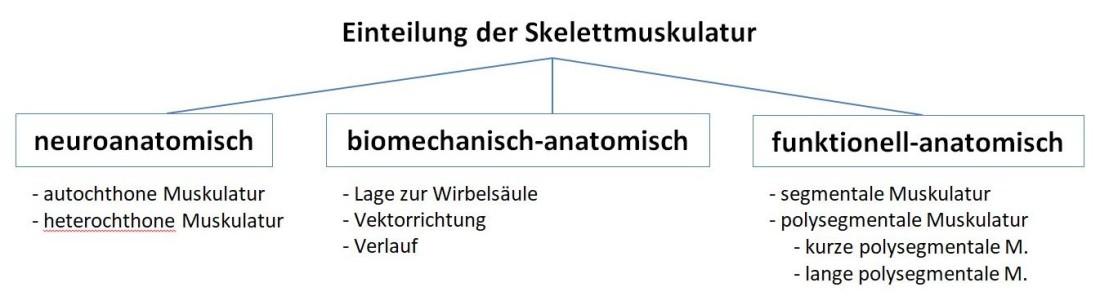 Schichten der Skelettmuskulatur – eine Klassifikation – Christof Otte