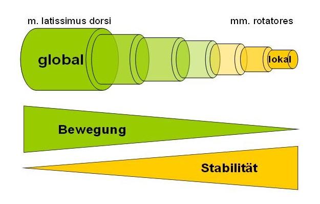 Globales vs. lokales Muskelsystem